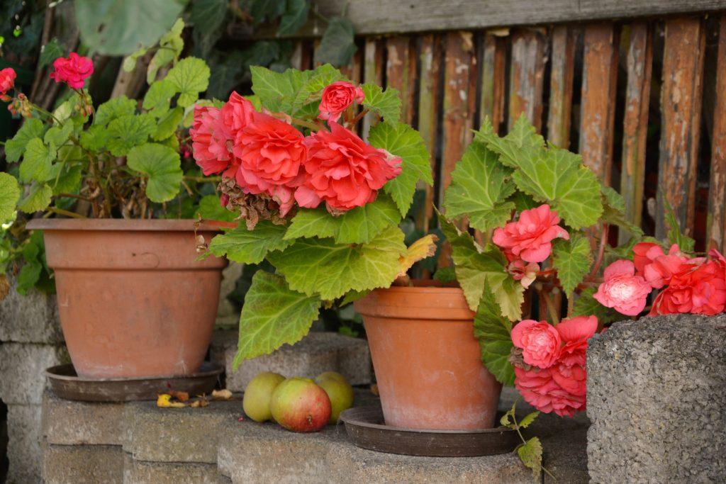 begonias plante de balcon